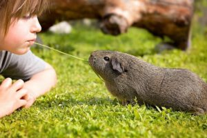 Voorbeeld voor huisdier voor kinderen: cavia