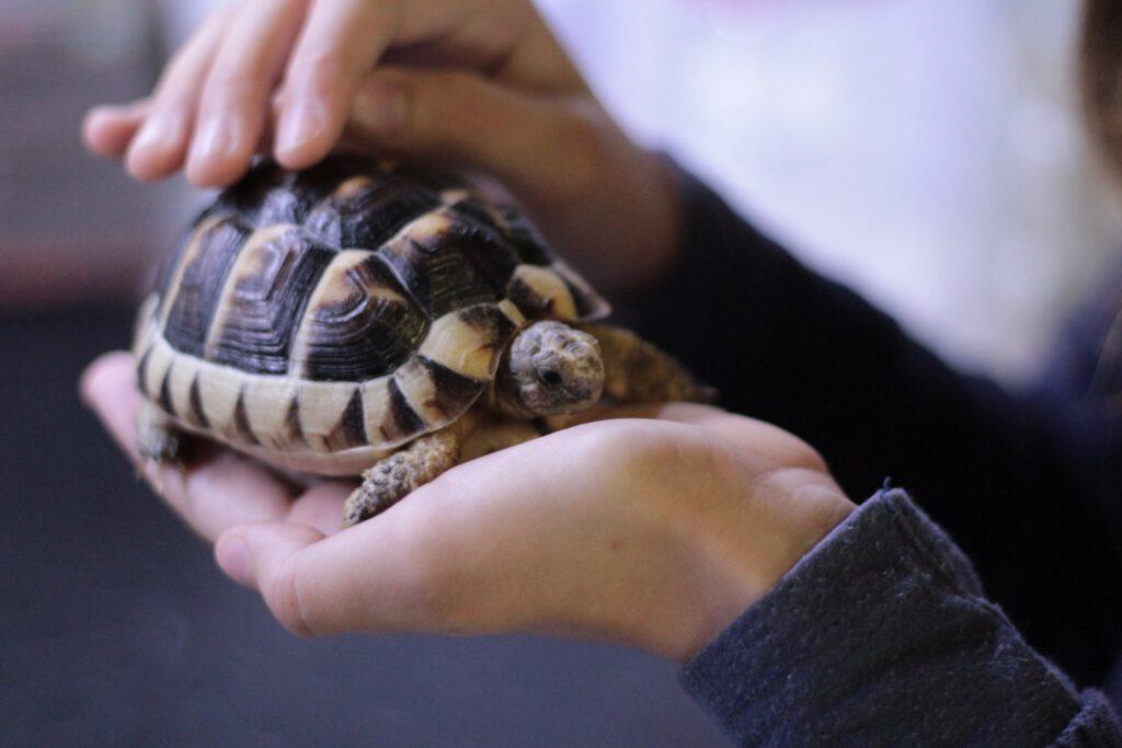 Voorbeeld voor huisdier voor kinderen: Schildpad