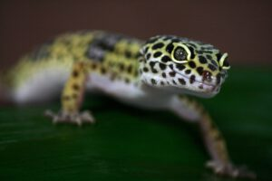 Voorbeeld voor huisdier voor kinderen: gekko